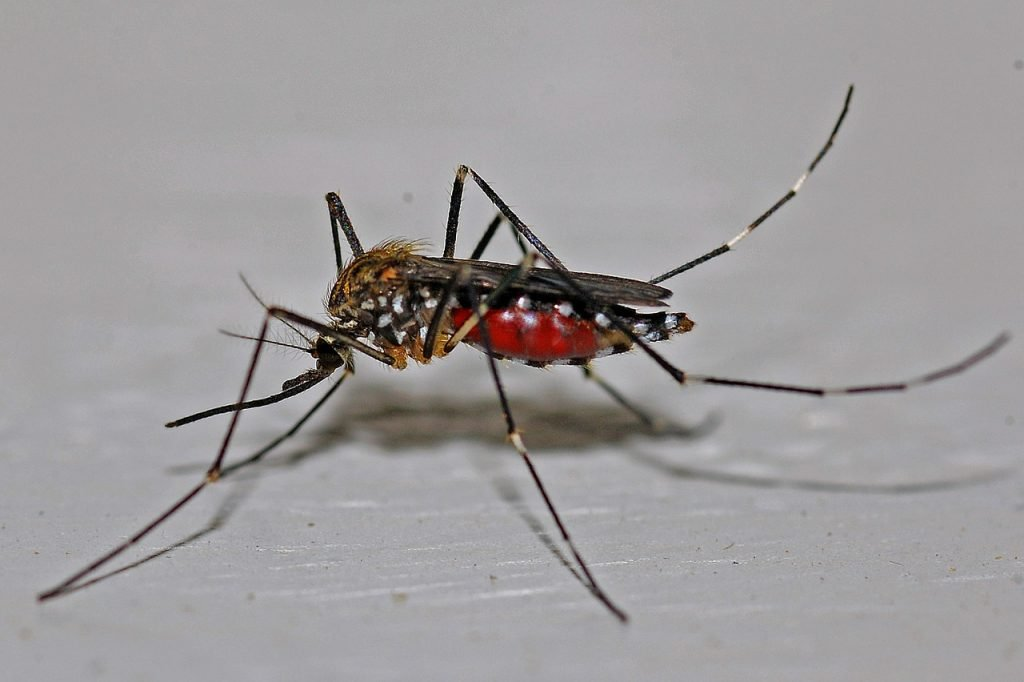 mosquito, insect, macro